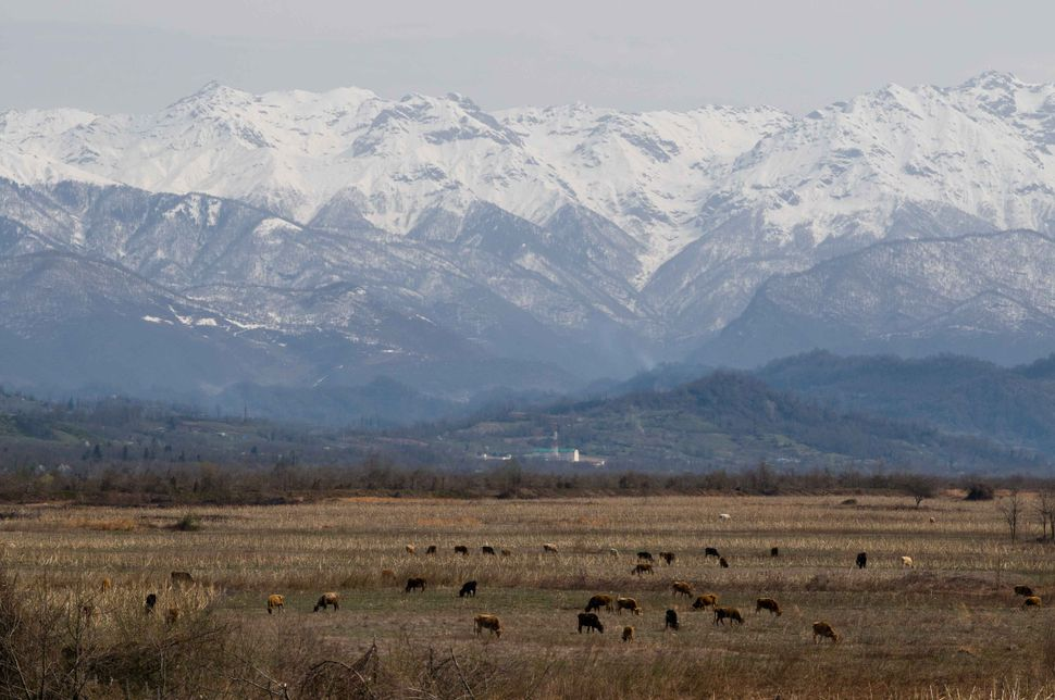 Cows grazing in the no man's land between Georgia and Abkhazia