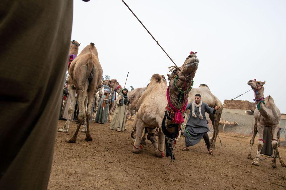 Camel market, Birqash, Egypt