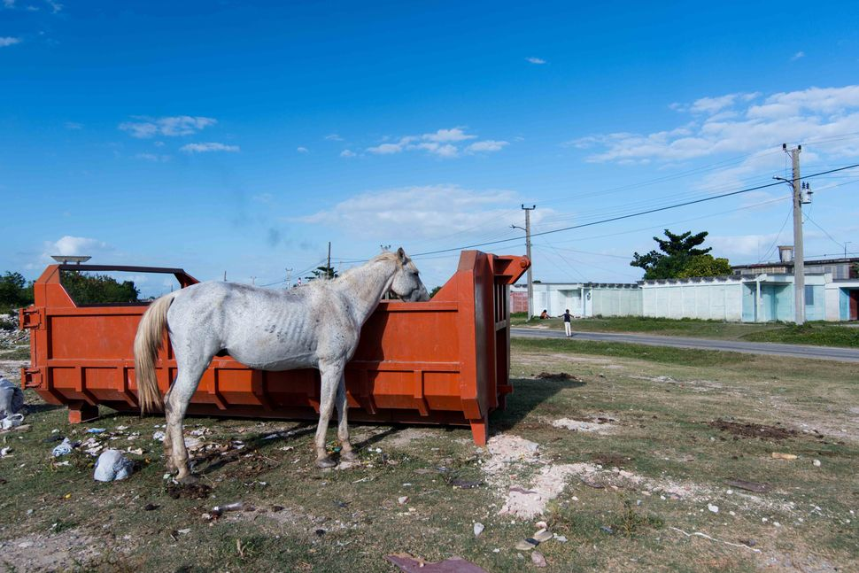 Horse eating from a waste container, Cienfuegos