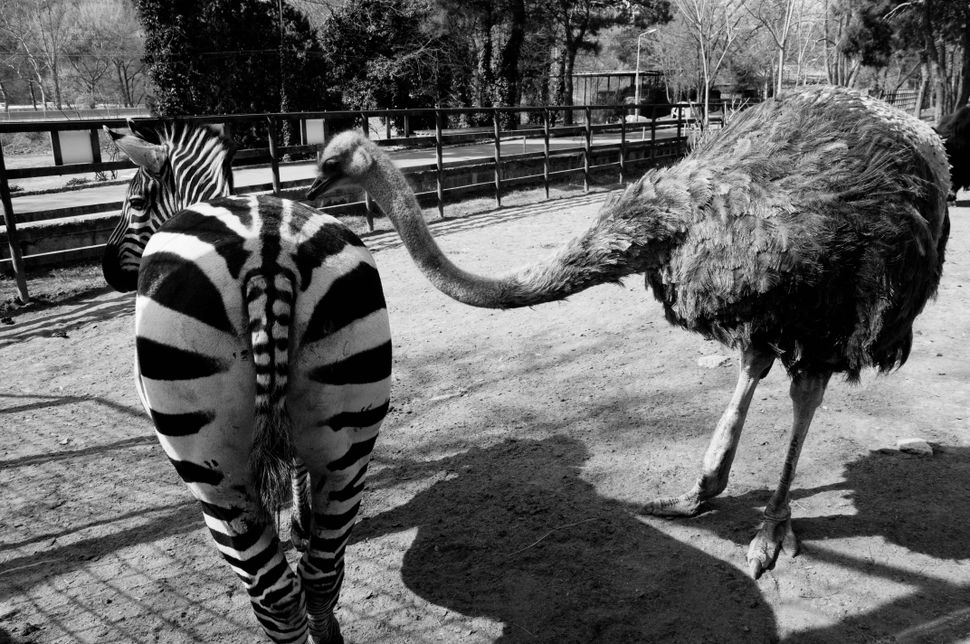Ostrich grooming a zebra, Tbilisi zoo