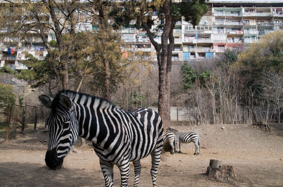 Zebra at the Tbilisi zoo