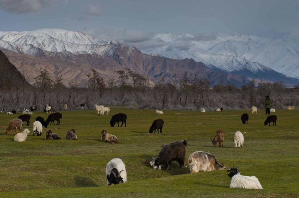 Sheep grazing on grassland, Tashkurgan