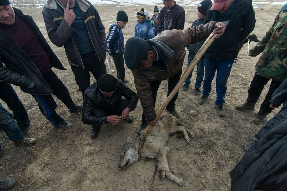 Chained wolf after dog attack