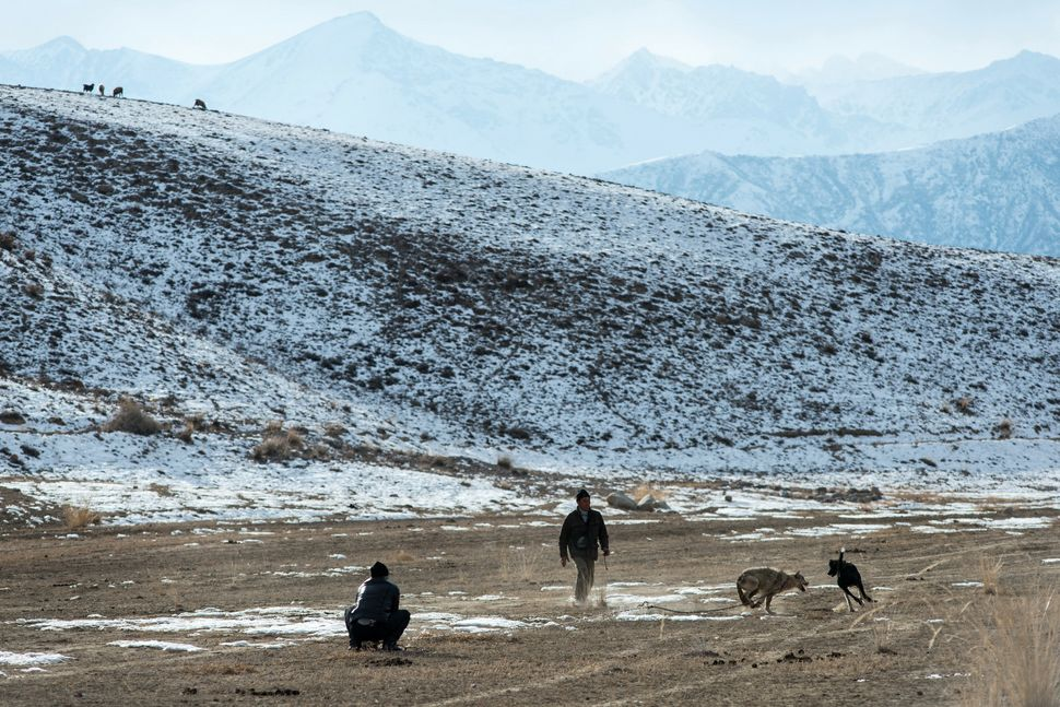 Taigan (Kyrgyz dog) vs wolf