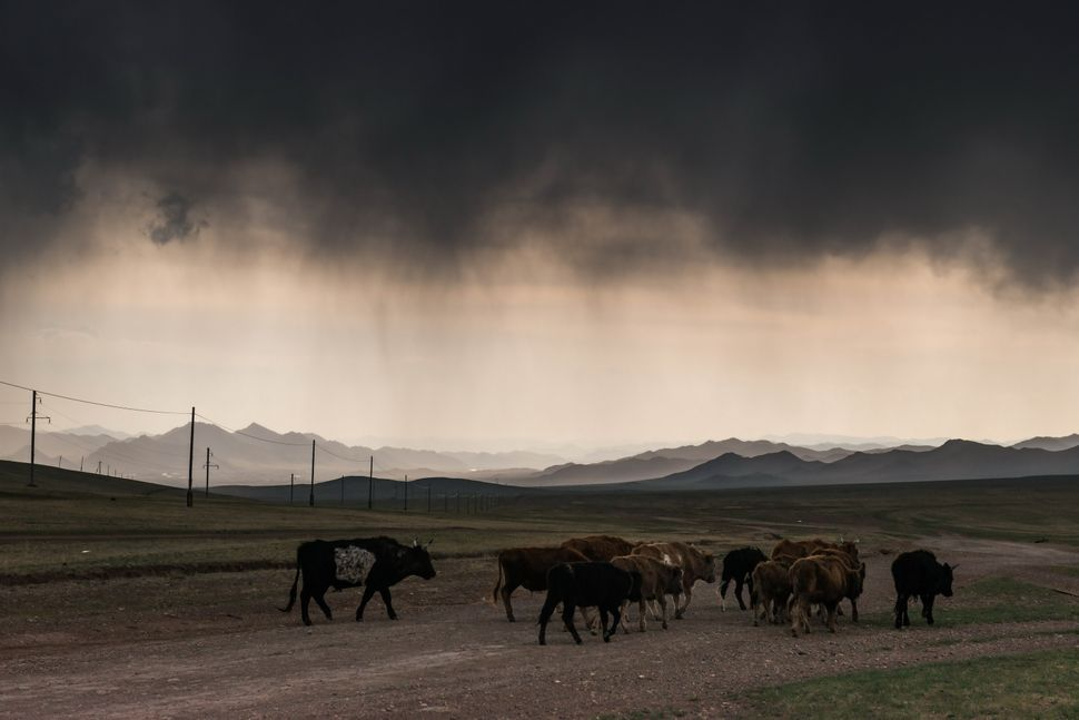 Countryside - Cow herd in the storm